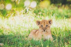 Lion cub are relaxing in the grass in Masai Mara in Africa. royalty free stock photography