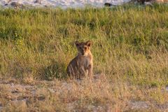 Lion cub relaxing on the savannah of Chobe National Park stock photos