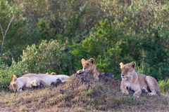 Lion with cub rest Royalty Free Stock Photo