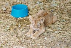 Lion cub rest , Safari Park Taigan, Crimea. Stock Photo