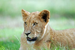 Lion Cub Resting Royalty Free Stock Photography
