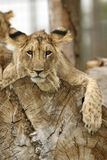 Lion cub resting Stock Photos