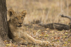 Lion cub resting against tree trunk Royalty Free Stock Images