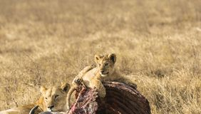 Lion cub, resting on carcass of wildebeest stock image