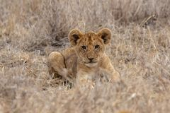 Lion cub resting in grasslands on the Masai Mara, Kenya Africa stock image