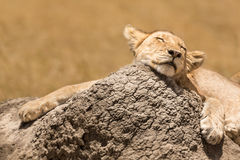 Lion cub resting , Serengeti NP stock photos
