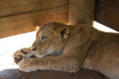 Lion cub resting in a wooden shelter Stock Photos