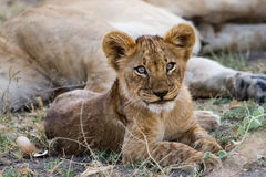 Lion cub rests by his mother. Lion cub rests by his mother in Botswana Africa Royalty Free Stock Photo