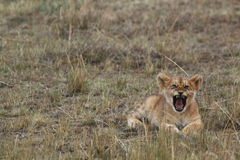 African Lion Cub Roaring Royalty Free Stock Image