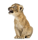Lion cub roaring, sitting, isolated Stock Image