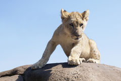 Lion cub on rock. Lion cub on the top of a rocky outcrop Royalty Free Stock Images