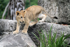 Lion cub on rock Royalty Free Stock Image