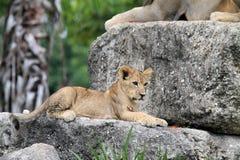 Lion cub on rock Stock Photos