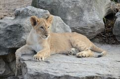 Lion cub on rocks Royalty Free Stock Images