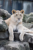 Lion cub on rocks Stock Images