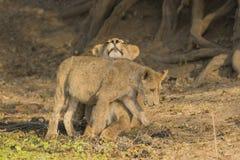 Lion cub rubbing against lioness Stock Photos