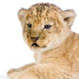 Lion Cub's c Stock Photo