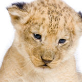 Lion Cub's c Royalty Free Stock Photos