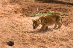 Lion cub in the savannah stock photos
