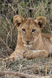 Lion cub - Savuti - Botswana Royalty Free Stock Photo