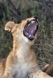Lion cub - Savuti - Botswana Royalty Free Stock Image