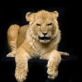 Lion Cub se couchant Images stock