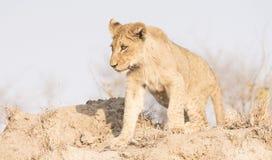 Lion Cub selvaggio su una collina della sabbia in Africa Fotografia Stock