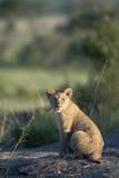 Lion cub at the Serengeti National Park Royalty Free Stock Image