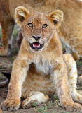 Lion cub  in Serengeti Royalty Free Stock Image