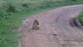 Lion cub in the Serengeti stock video