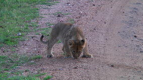 Lion cub in the Serengeti stock video footage