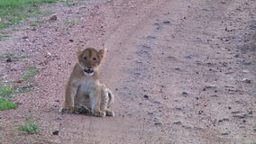 Lion cub in the Serengeti stock footage
