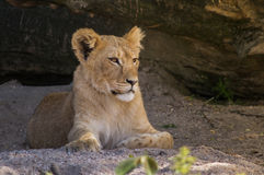 Lion Cub. Lying in shade outdoors Stock Photo