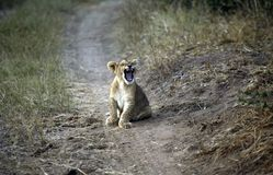 A lion cub showing off Royalty Free Stock Photos