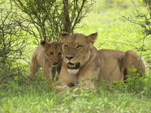 Lioness and Cub. Lion cub shows loving touch to mother Stock Image