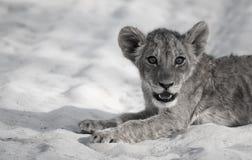 Lion Cub Siesta Imagen de archivo