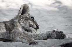 Lion Cub Siesta Imagen de archivo libre de regalías