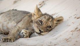 Lion Cub Siesta Fotografía de archivo libre de regalías