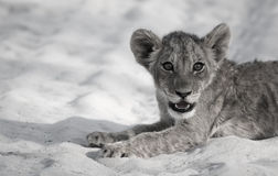 Lion Cub Siesta Stock Image