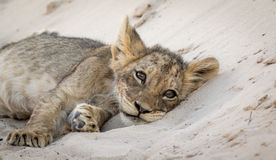 Lion Cub Siesta Royalty Free Stock Photography