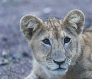 Close up of Lion cub sitting alone royalty free stock image