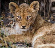 Lion cub sitting in the grass. Okavango Delta. Stock Images