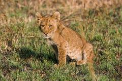 Lion cub sitting in the grass. Okavango Delta. Stock Image