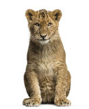 Lion cub sitting and looking at the camera Stock Photography