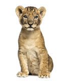 Lion cub sitting, looking at the camera, 7 weeks old, isolated Royalty Free Stock Photography
