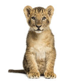 Lion cub sitting, looking at the camera, 10 weeks old, isolated. On white royalty free stock image