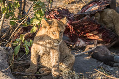 Lion cub sitting next to a Buffalo carcass. Royalty Free Stock Photo