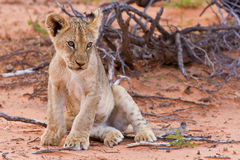 Lion cub sitting on the sand and looking Royalty Free Stock Photo