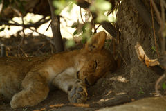 Lion Cub Sleeping Stock Photography