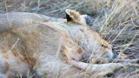 Lion cub sleeping after meal in Africa stock video